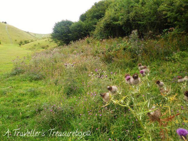 Barton Hills, Bedfordshire. A Traveller's Treasurebox: Localtrotting #hills #england #bedfordshire #thistles