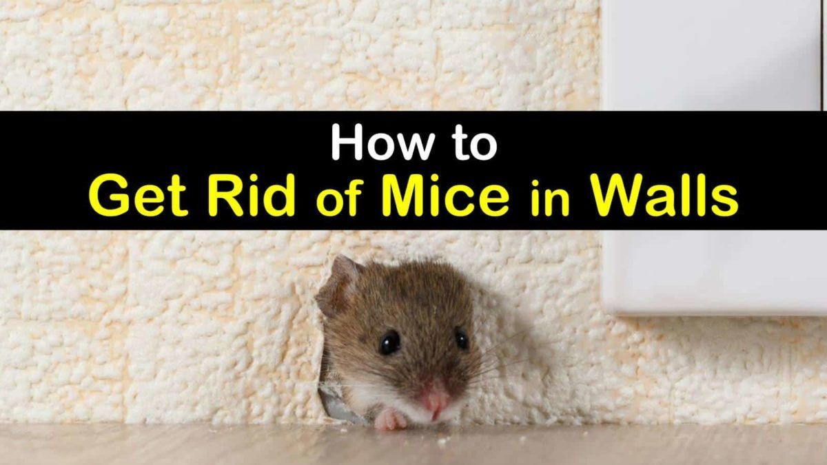 6 Clever Ways To Get Rid Of Mice In Walls In 2020 Getting Rid Of Mice Dead Mouse Smell Rodent Repellent