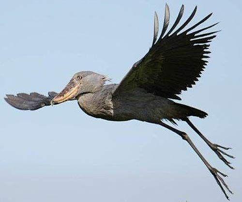 shoebill giant peculiar bird of africa Π�ηνοis