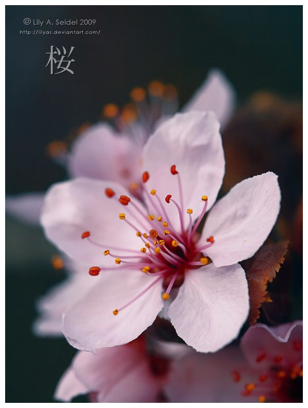 Sakura By Lilyas On Deviantart Sakura Flower Japanese Cherry Blossom Japanese Flowers