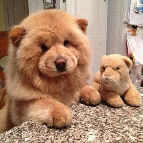 Top Chow Chow Chubby Adorable Dog - 3f38d618583fce61f271effeb74d49a1  Picture_795100  .jpg