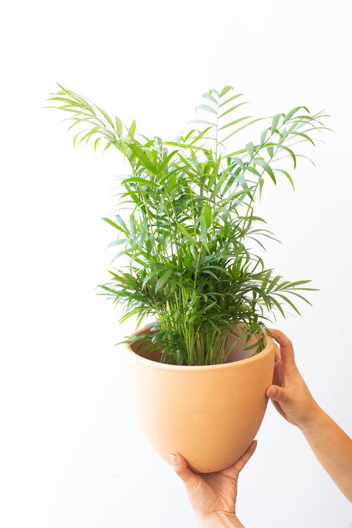 Parlor Palm Bella Palm Various Sizes Available The Zen Succulent Durham S Neighborhood Plant Gift Shop In 2020 Plant Gifts Plants Succulents
