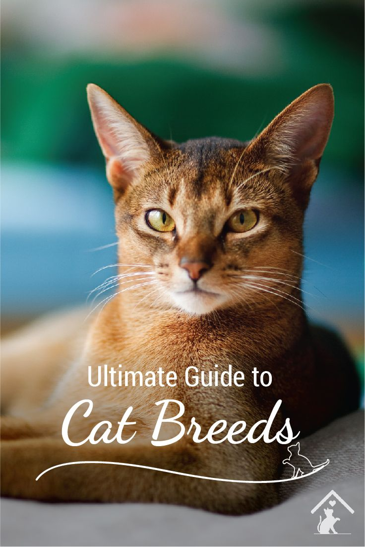 Curious about cat breeds? The Abyssinian is just one of our top 20 ...