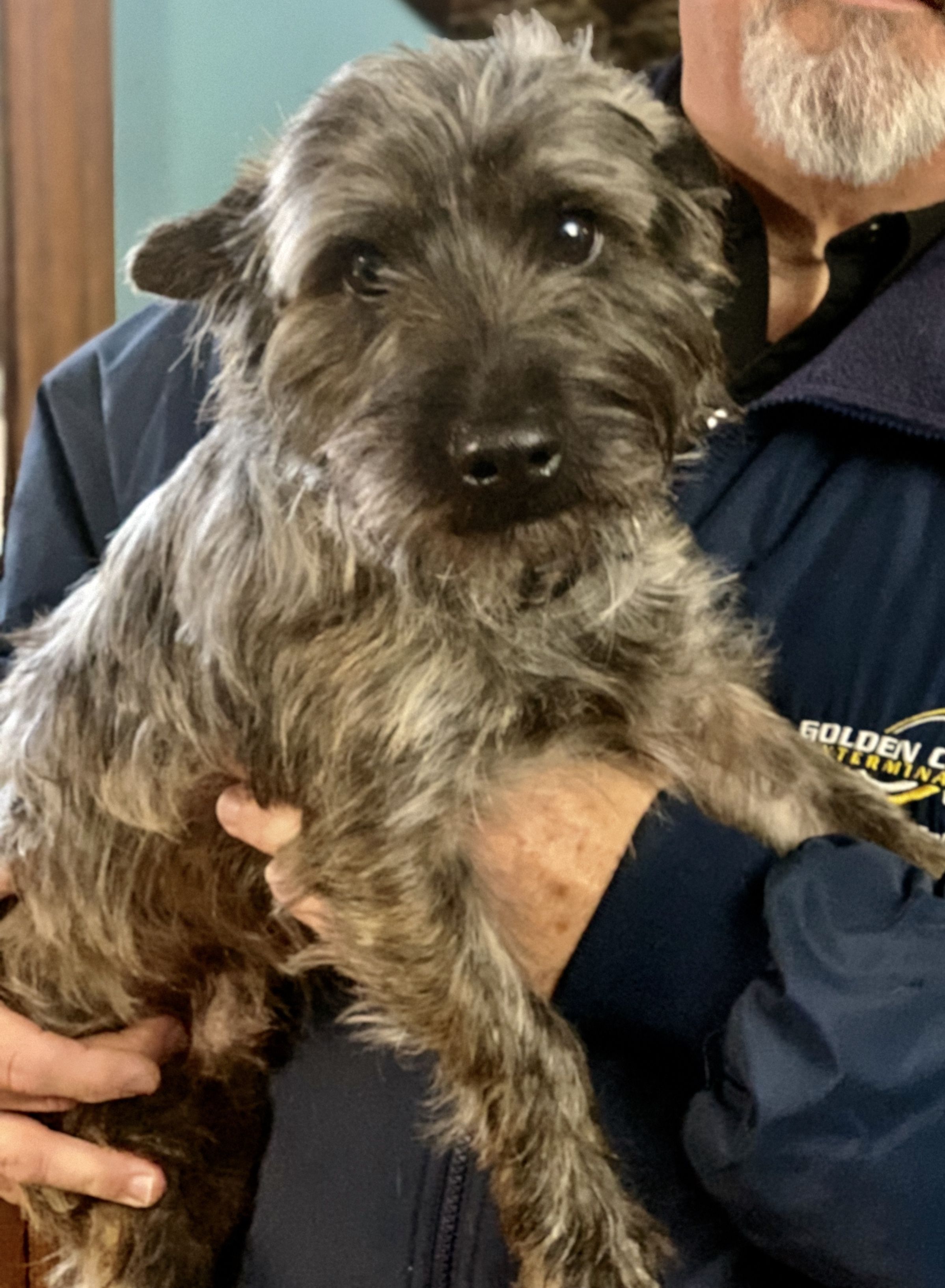 Adopt Toto On Cairn Terrier Puppies Rescue Dogs Terrier Puppies