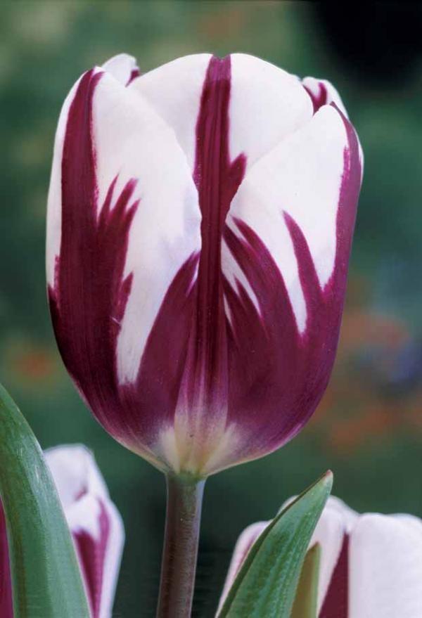 tulipes flamm es 39 rem 39 s favourite 39 plantes aux couleurs. Black Bedroom Furniture Sets. Home Design Ideas