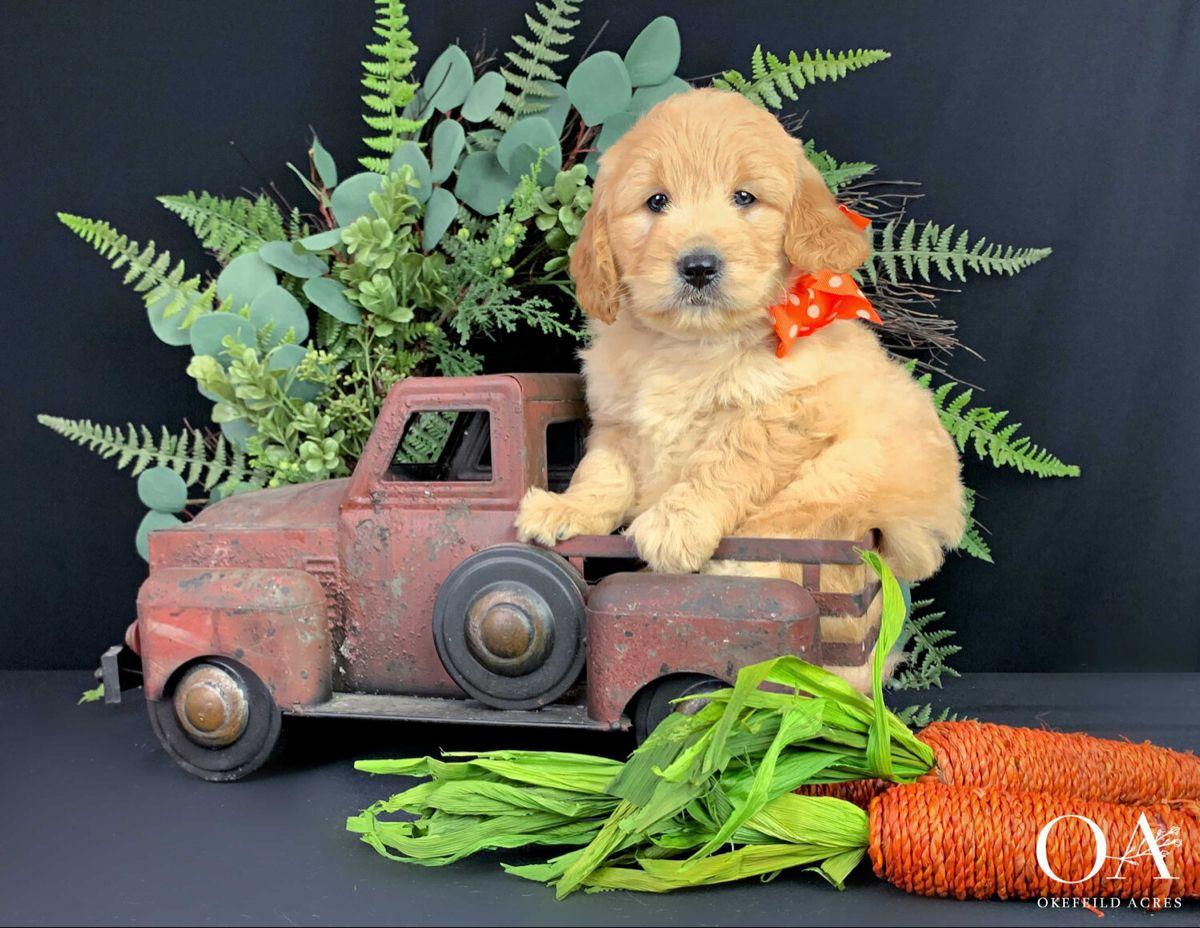 Sonny Okefeild Acres Mini Teddybear Goldendoodle Puppy In 2020 Goldendoodle Puppy Retriever Puppy Mini Goldendoodle Puppies