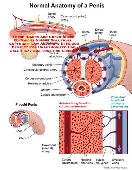 artery of the penis - Google Search | vascular | Pinterest | Anatomía