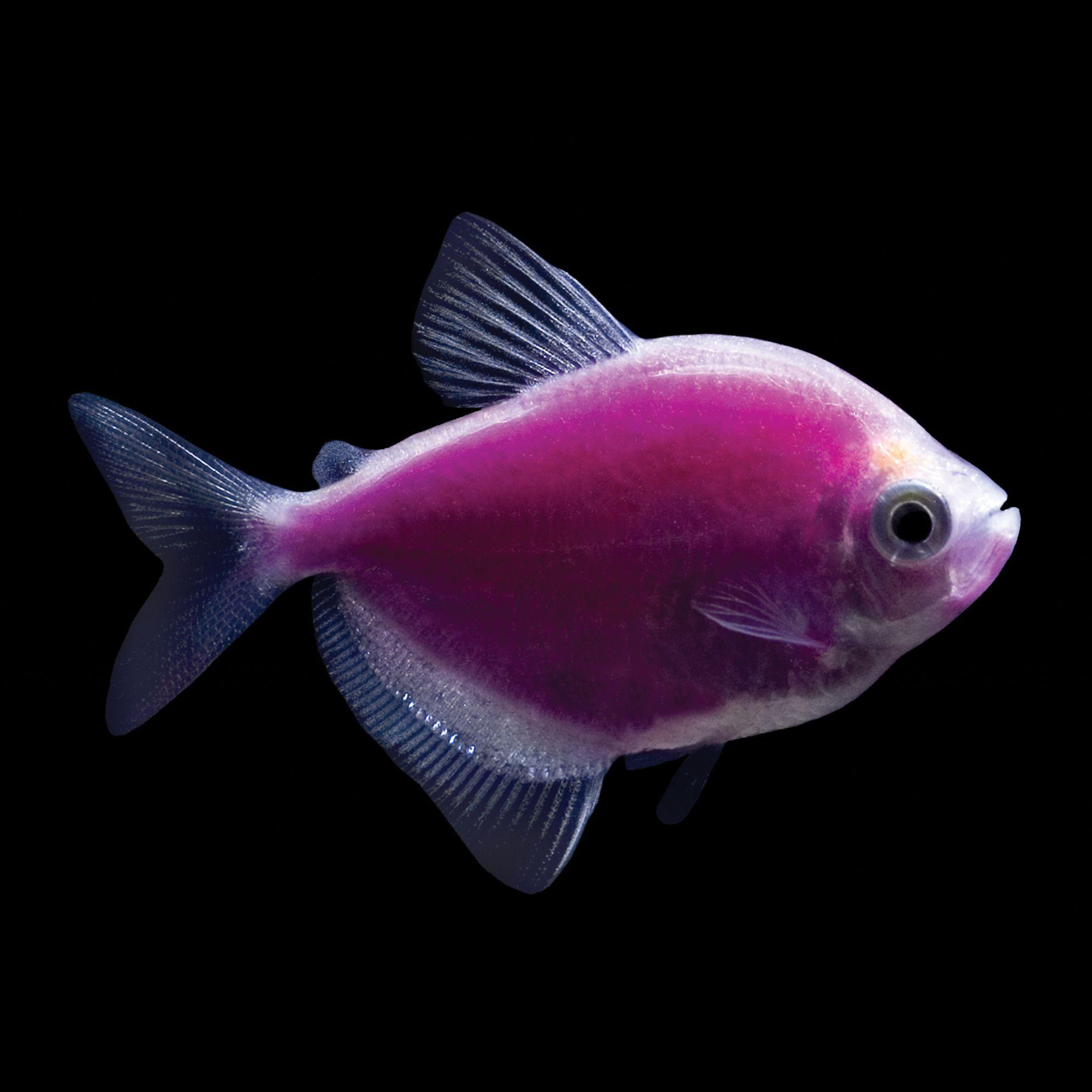 Freshwater fish for aquarium petsmart - Glofish Galactic Purple Tetras Are Beautiful Freshwater Tetra Fish That Glow Under Black Lights