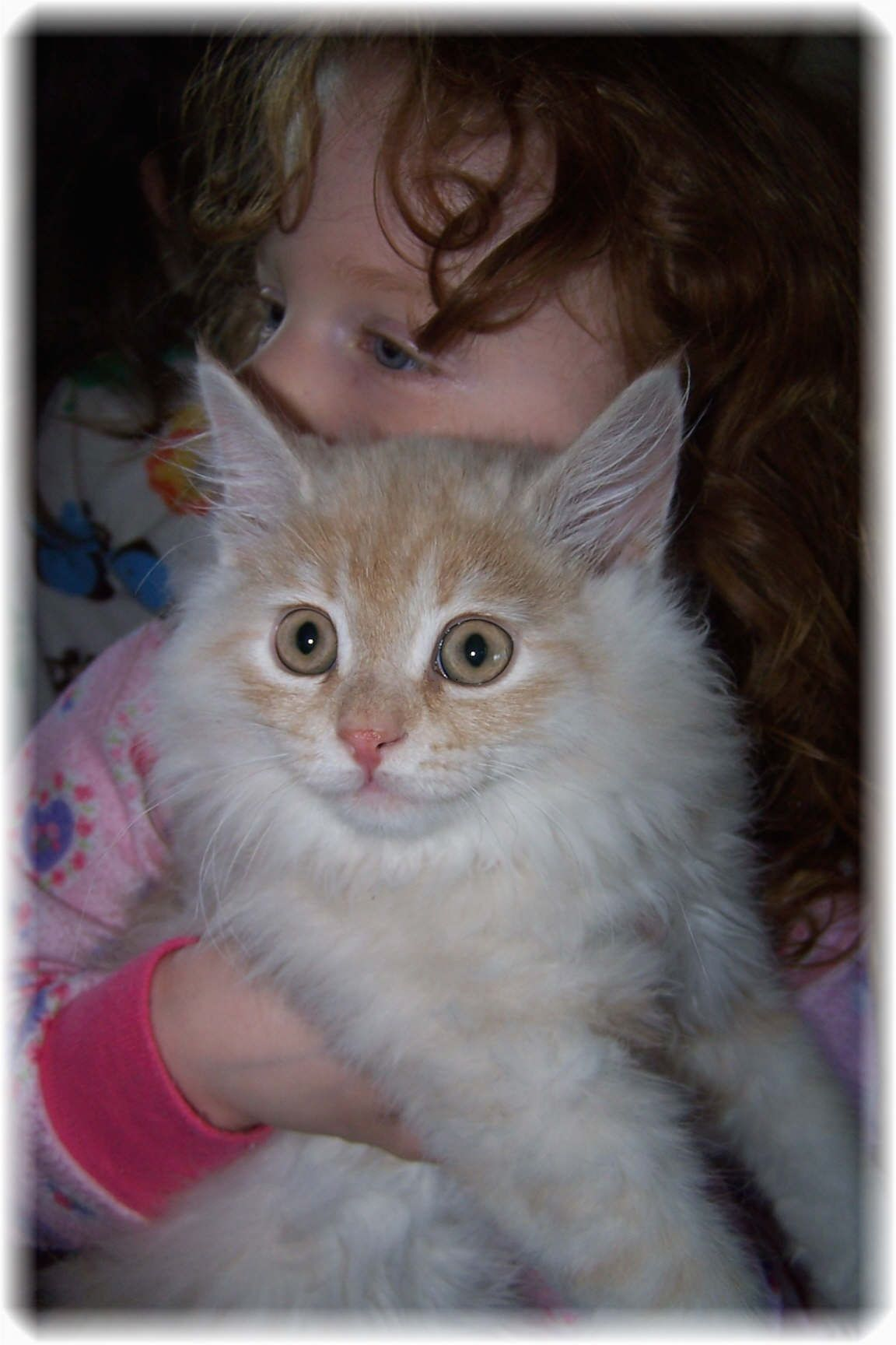 Cat Siberian Kitten Available for Sale Siberian Cat
