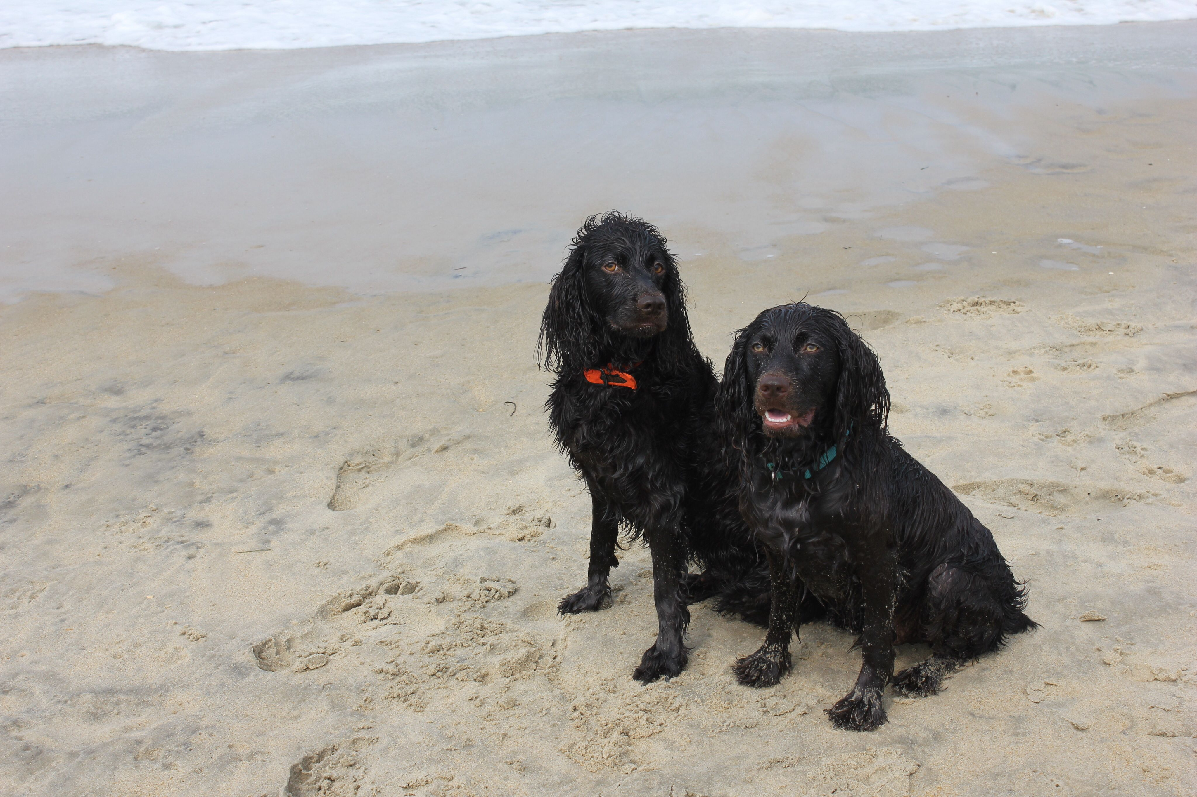 Boykin Spaniels On The Beach Bailey And Cooper Boykin Spaniel Brown Dog Spaniel