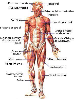 So Ciencias Corpo Humano Sistema Muscular Sistema Do Corpo