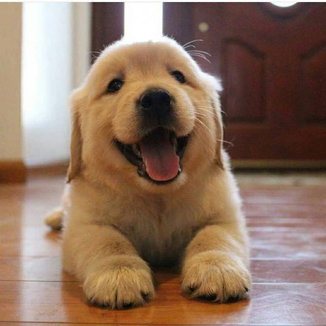 Facts On The Trustworthy Golden Retriever Pups Personality Goldenretrieverofinstagram Goldenretrievers Golden Puppies Golden Retriever Dogs Golden Retriever