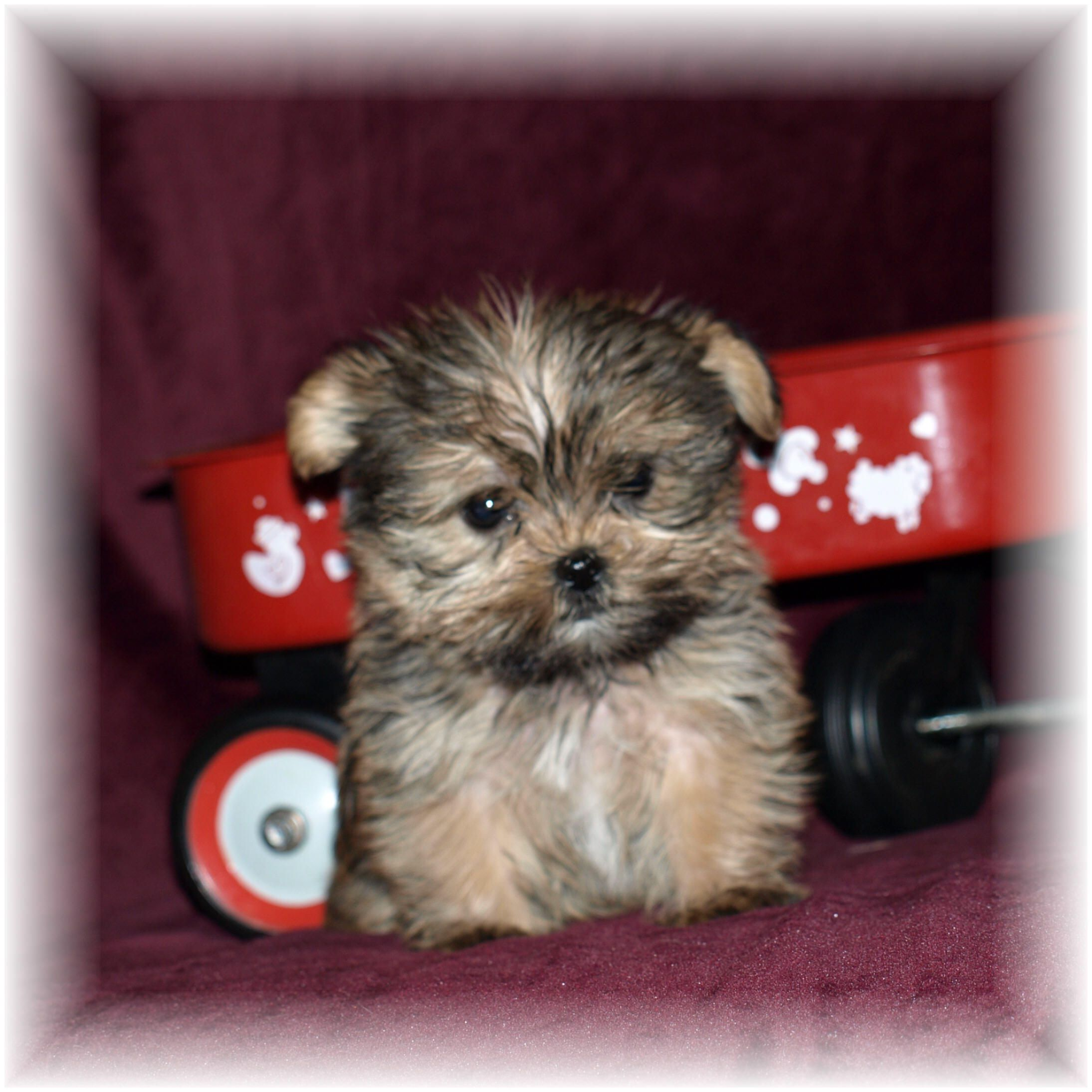 Shorkies Are #1 Puppies In The USA -must Love Shorkies