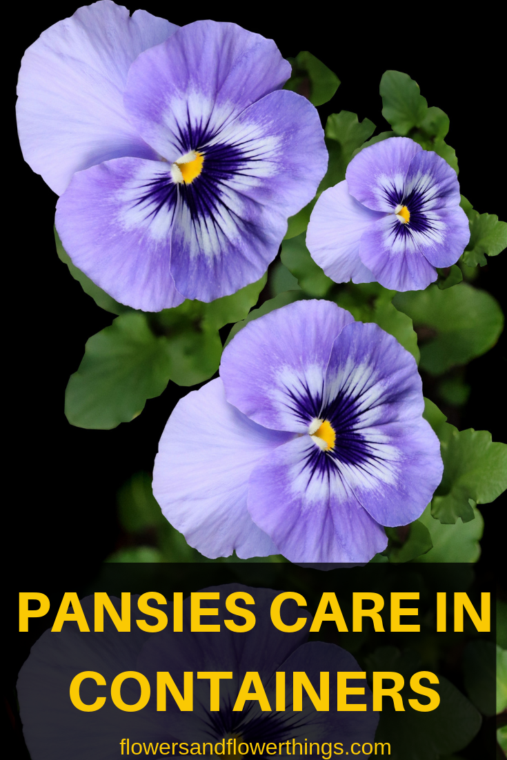 What To Do With Pansies After Flowering Flowersandflowerthings Pansies Flowers Pansies Flower Care
