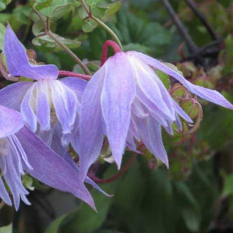 Clematis alpina blue dancer nice for spring flowers but maybe too clematis alpina blue dancer nice for spring flowers but maybe too many deciduous climbers mightylinksfo