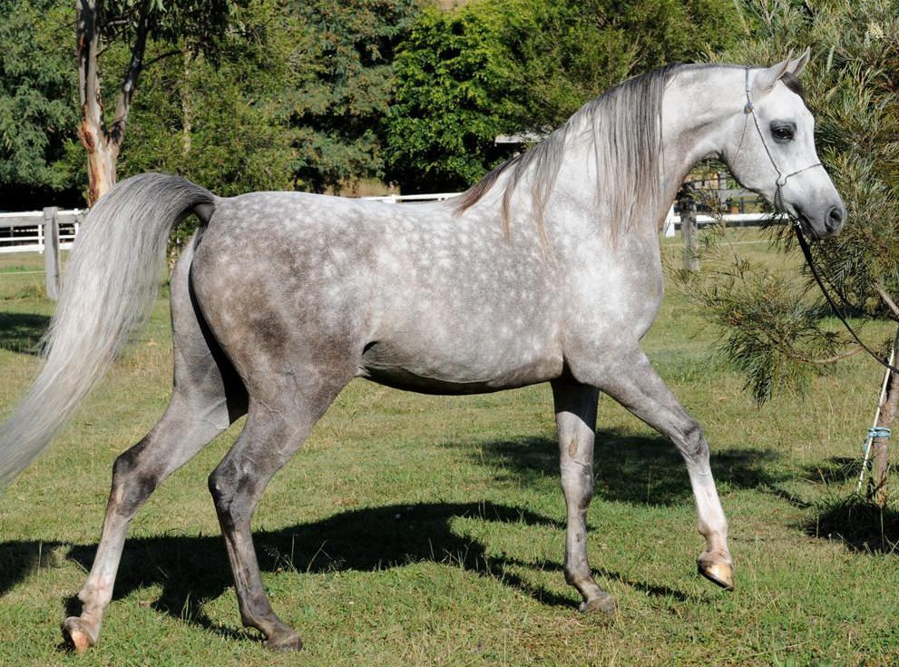 Dappled grey horse  Dapple grey horses Horses