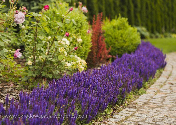 Szalwia Omszona Compacta Deep Blue Landscape Borders Border Plants Garden Types