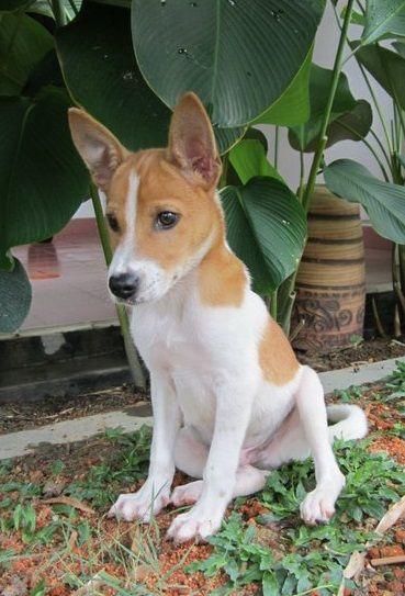 4 Months Old Dog Breeds Basenji Dogs Rare Dog Breeds
