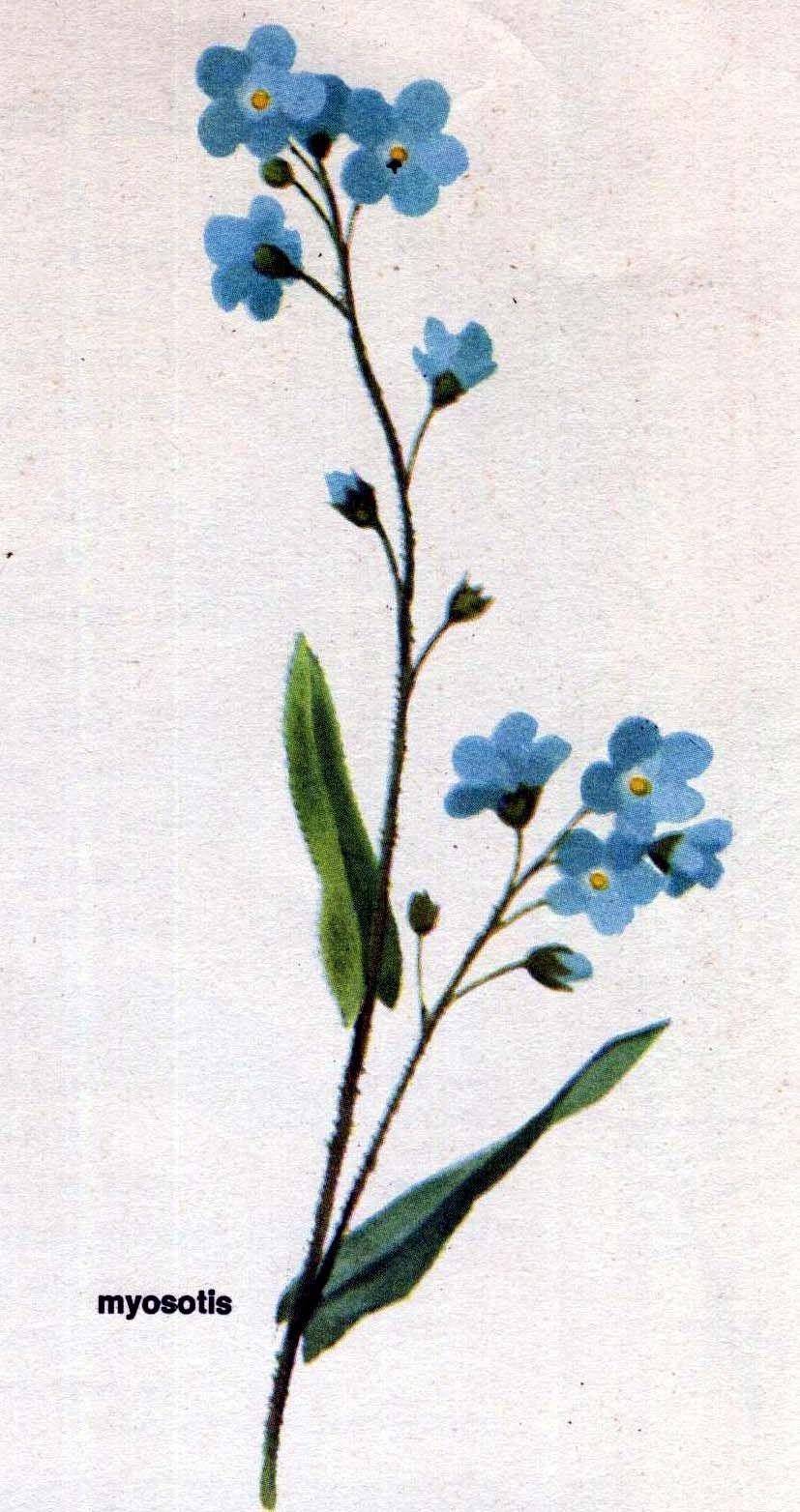 Coloriage Fleur Myosotis.Myosotis Dessin Recherche Google Cusături Dessin Tatouage