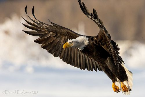 And So The New Year Arrives Eagle Landing At Chilkat Preserve 6168 Bald Eagle Eagle Wallpaper Eagle Animals