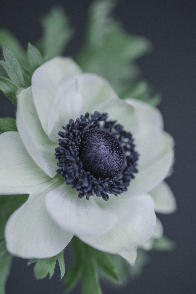 Anemones Delicate Blooms In White Pastel Hues Rich Jewel Tones White Anemone Flower Anemone Flower White Anemone