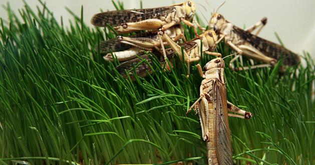 رؤية الجراد في المنام رؤية نزول الجراد في بيت أو متجر في المنام رؤية الجراد في الاناء في المنام رؤية الجراد في السماء Animals Lizard