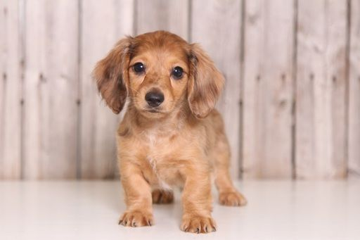 Dachshund Puppy For Sale In Mount Vernon Oh Adn 36763 On