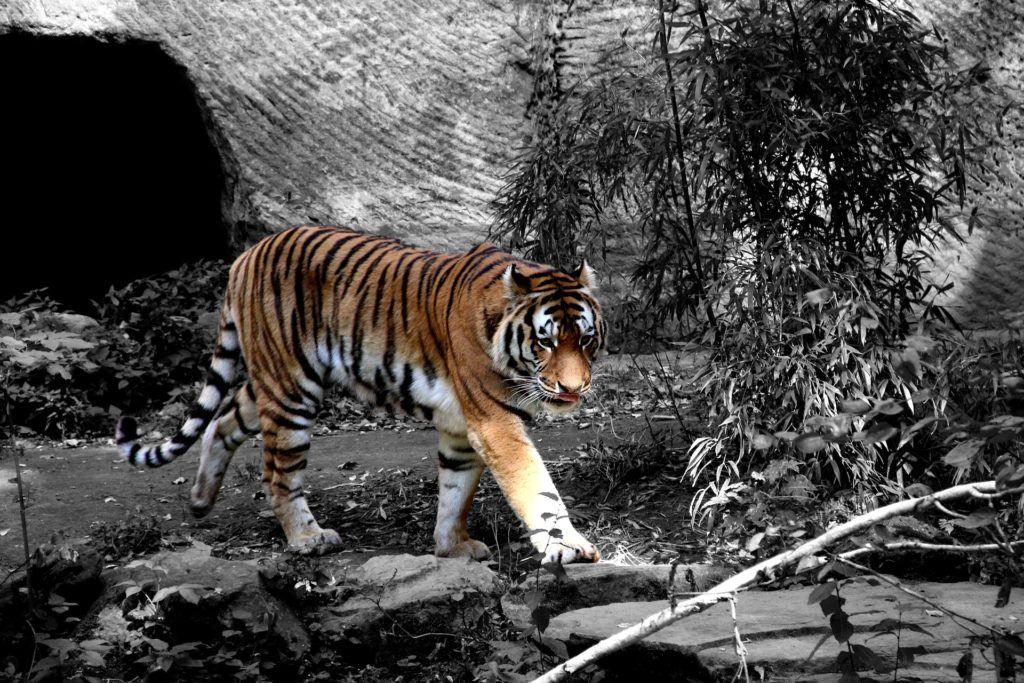 Fondos De Pantalla De Felinos: Fondo De Pantalla De Tigre, Felino, Depredador, Rayas, En