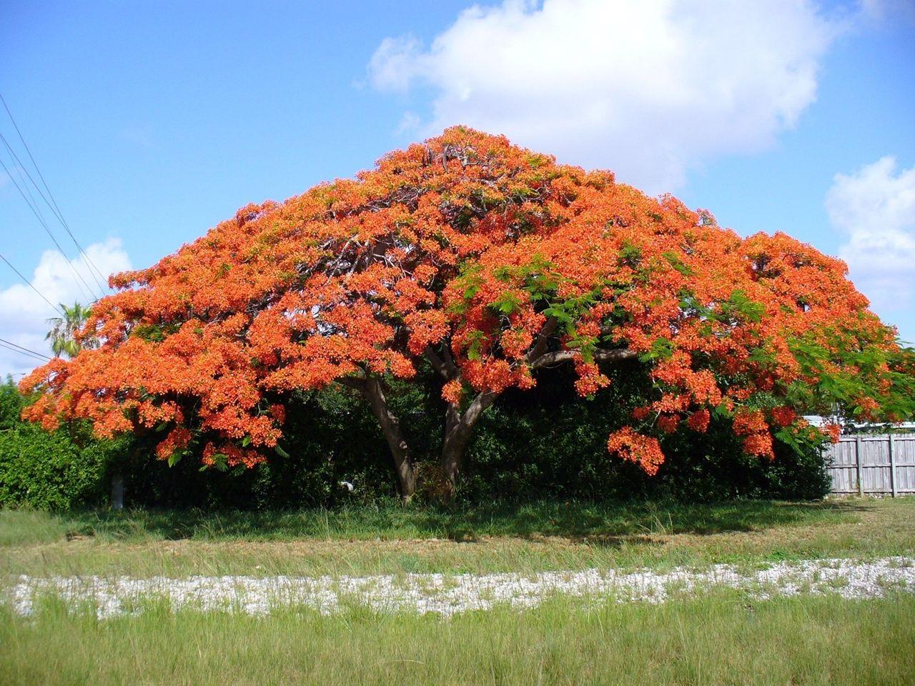 дерево с большими красными цветами фото декоративной
