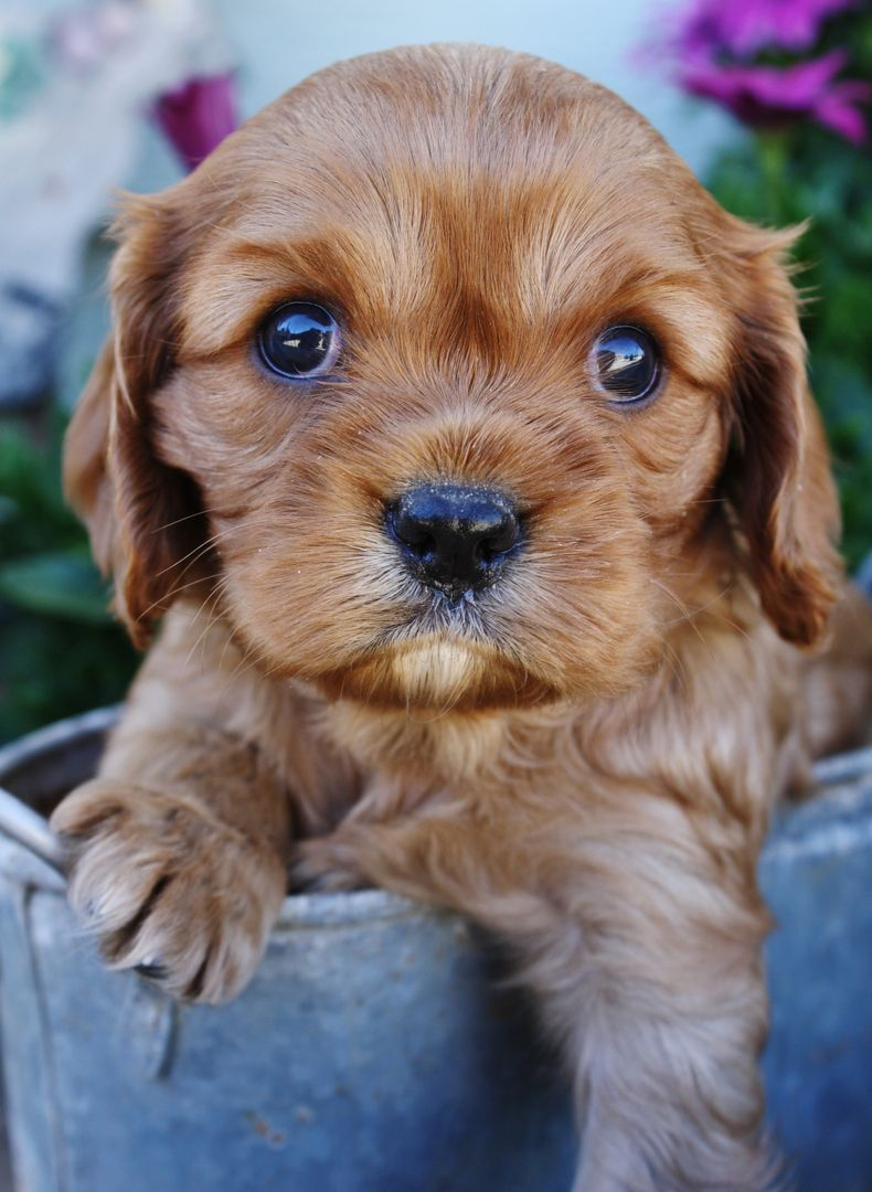 English Cream Golden Retriever Puppies For Sale Cavalier King