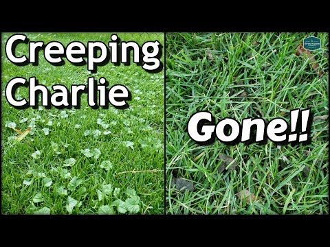 2233 How To Get Rid Of Creeping Charlie With Results Diy Lawn Care Youtube Diy Lawn Lawn Care Lawn Care Weeds