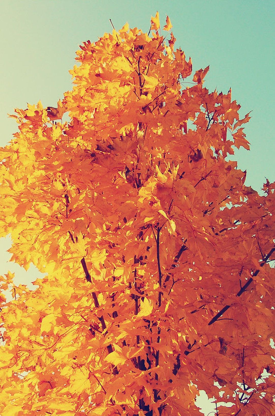 Colorful Autumn Tree Leaves Iphone 6 Plus Hd Wallpaper Beautiful Wallpaper For Phone Tumblr Iphone Wallpaper Nature Iphone Wallpaper