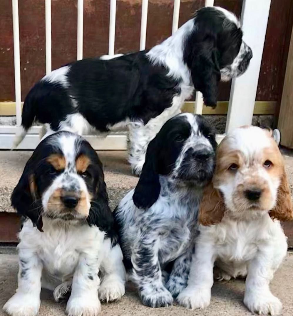 Elaine Moore On Instagram Yeah It S Friday The Weekend Is Near How Cute Is Are These Gorgeous Parti A Spaniel Puppies Cocker Spaniel Puppies Cocker Spaniel