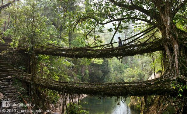 This living bridge takes generations of the Khasi people to create and will serve them for some 500 years. The roots of the Indian fig (Ficus Benghalensis) are supported on hollowed out betel nut trunks and directed across the river to take root on the opposite bank. It takes decades of tending before it becomes strong enough to carry people. Click the picture to find out more and watch a video of the bridges on www.naturalhomes.org