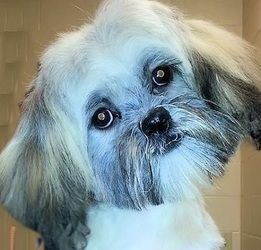 Briellefostered In Nashville Tn Is An Adoptable Shih Tzu Dog In