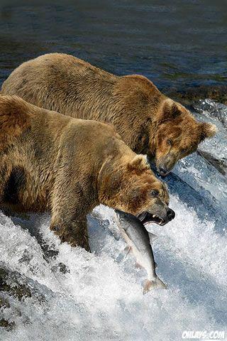Feeding Bears Grizzly Bear Animal Brown Bear Bear
