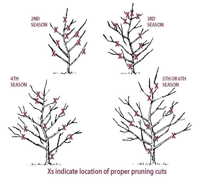 1112 Jpg 672 600 Pruning Fruit Trees Aquaponics Pruning Apple Trees