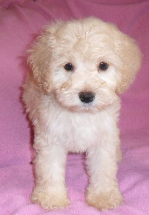 Heidi Female Teddy Bear Schnoodle Puppy For Sale In Ohio 700 Schnoodle Puppies For Sale Schnoodle Puppy Pets