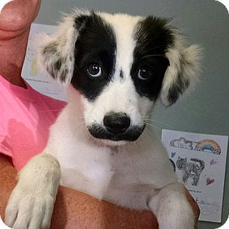 australian shepherdborder collie mix dog for adoption in
