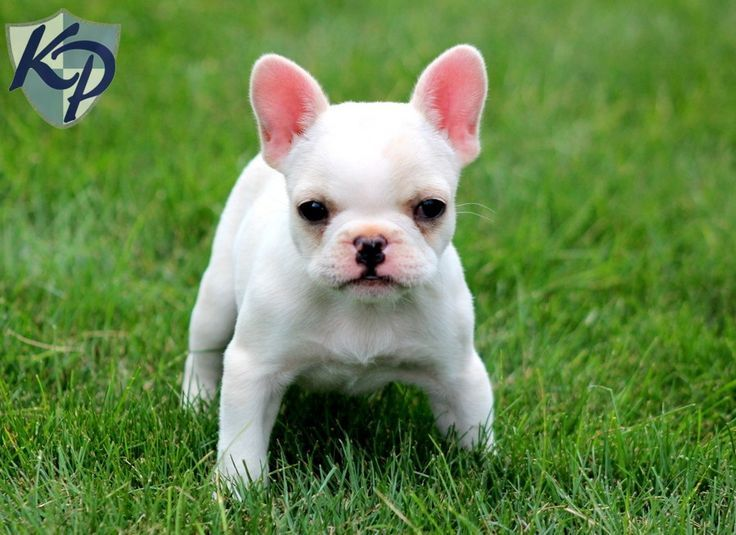 Mini French Bulldogs On Pinterest American Bulldog Puppies