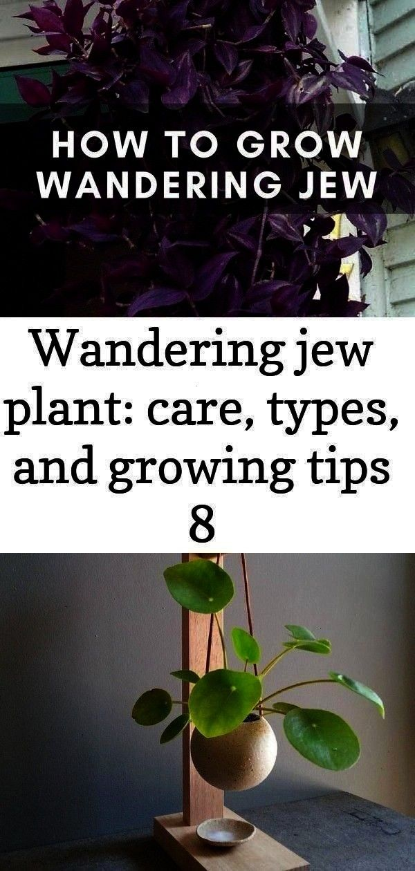 care types and growing tips 8 The wand  Wandering jew plant care types and growing tips 8 The wandering jew plant is not a single plant  it refers to 3 different types of...