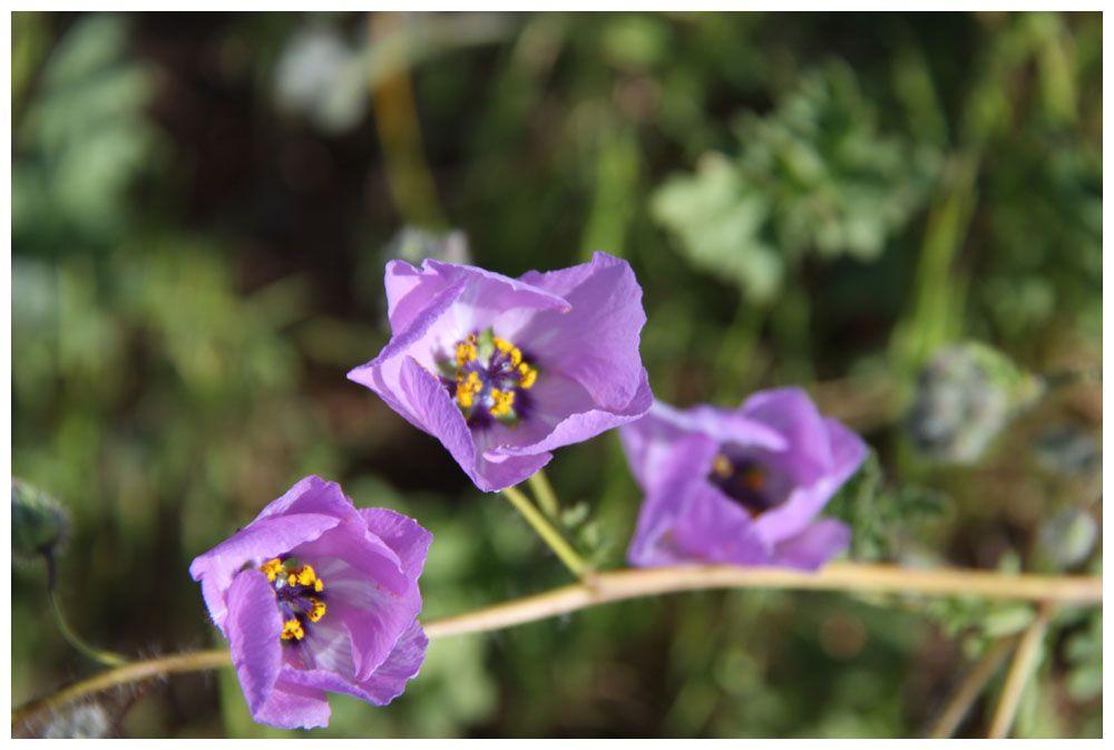 Blühende Atacama, Malvilla, Cristaria glaucophylla