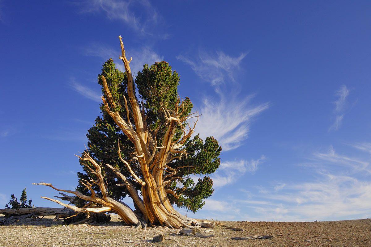 Der Alteste Baum Der Welt Alte Baume Baum Botanik