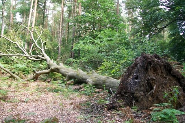 Forest Amerongen/ the Netherlands. The end of a tree...