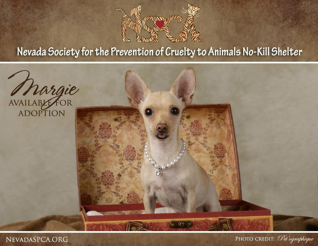 Nevada SPCA on Twitter Spca, Adoption, French bulldog