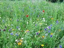 Bildergebnis für wildblumenwiese