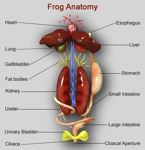 internal organs of frog