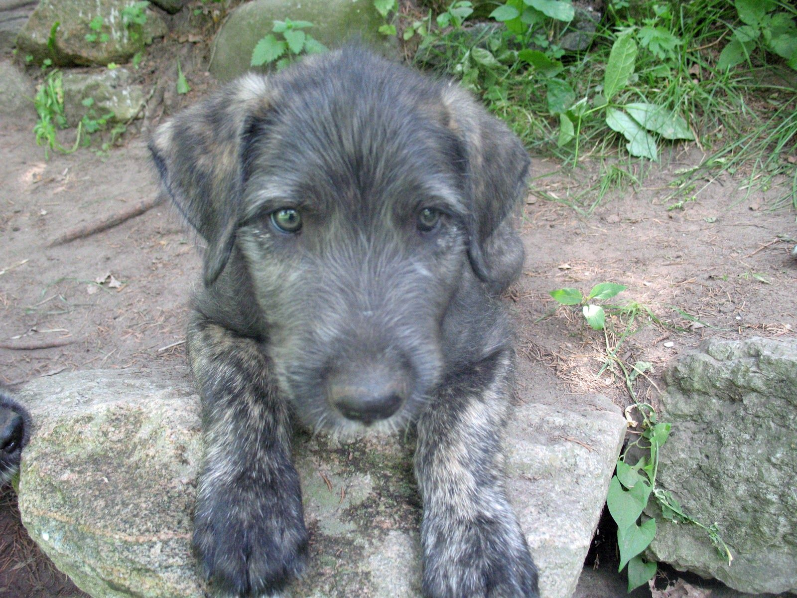Image result for irish wolfhound puppies images irish wolfhounds image result for irish wolfhound puppies images irish wolfhounds pinterest wolfhound irish wolfhound puppies and wolfhound puppies geenschuldenfo Image collections