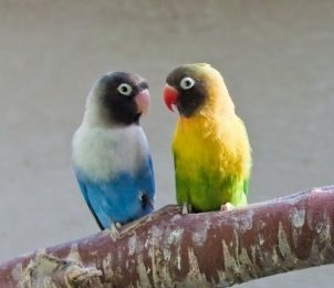 Black-masked lovebirds are small bundles of energy