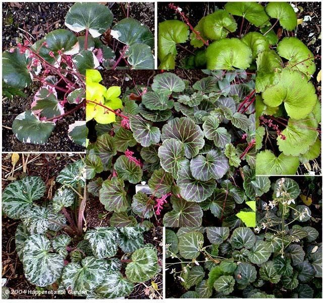 View Picture Of Strawberry Begonia Strawberry Geranium Roving Sailor Saxifraga Stolonifera At Dave 39 S Garden All Pictures Geraniums Begonia Succulents